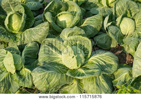 cabbage vegetable in field