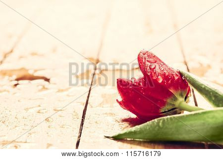 Fresh red tulip flower on wood. Wet, morning dew. Spring concept of romantic love, Valentine's Day