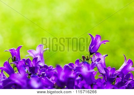Fresh flowers close-up on grass natural background. Place for text. Tussock bellflower also known as Carpathian harebell