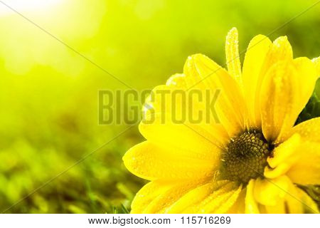 Fresh spring flower in sun light. Place for text on Valentine's Day, Mother's Day etc. Daisy flower