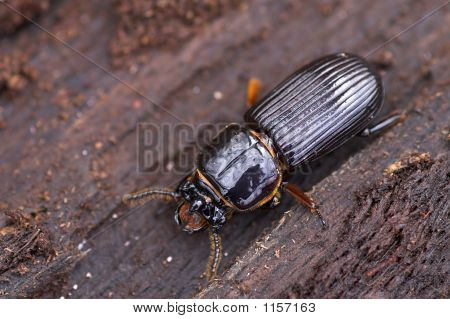 Ground Beetle 1