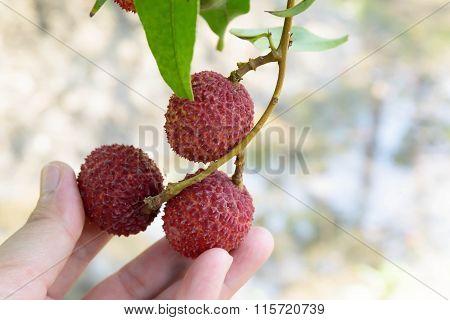 Lychee fruit famous Amphawa Thailand it's summer fruit