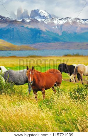 Gray, bay and black horses grazing in a meadow near the lake. On the horizon, towering cliffs Torres del Paine
