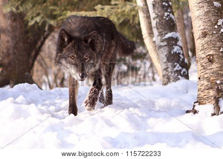 Big bad wolf walking in the snow