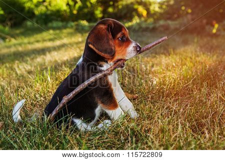 Beagle Puppy holding a stick in his mouth