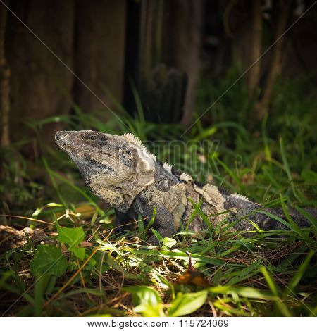 Iguana In Green Grass