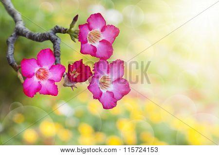 Desert Rose In Beautiful Background