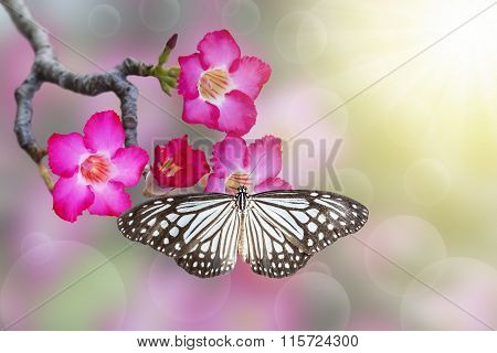 Desert Rose And Butterfly