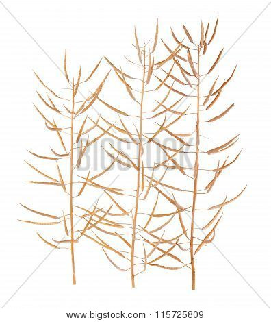 Canola or Oilseed Rapeseed