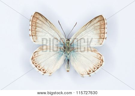 Spanish Chalk-hill Blue Butterfly On White
