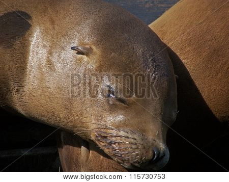 California sea lion sleeping