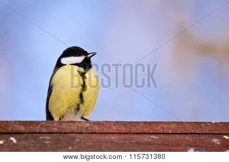 Brave titmouse sits on a birdhouse
