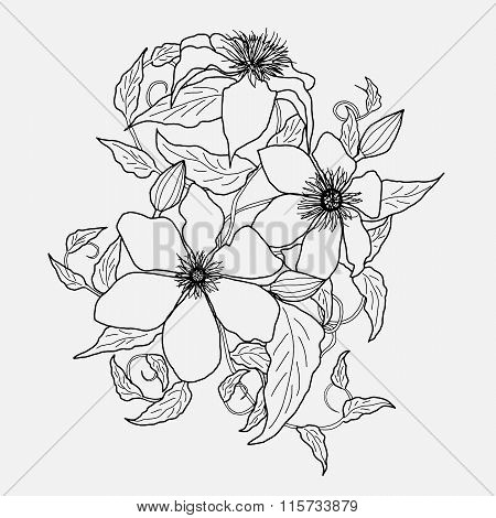 clematis flower, ornament, sketch, pencil drawing, illustration