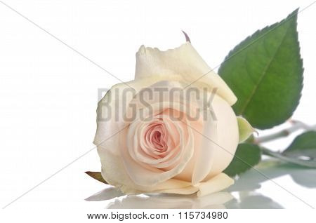 Beautiful Single White Rose Lying Down On A White Background