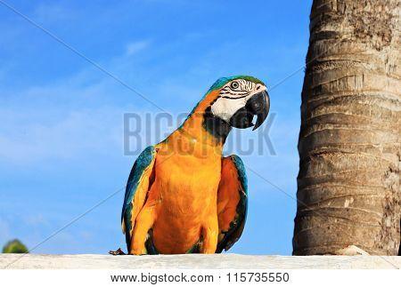Caribbean Macaw