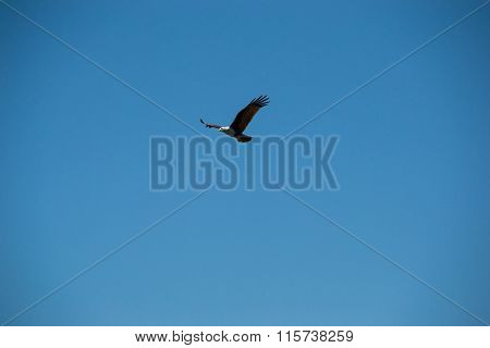 Eagle in flight, looking out for prey