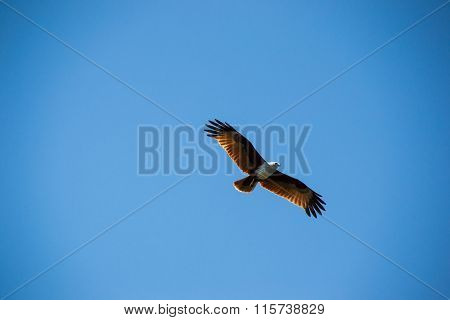 Majestic brown eagle soaring in blue sky
