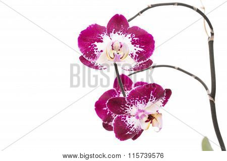 Beautiful violet home flowers orchids.