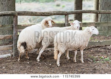 Sheep Inside The Fence