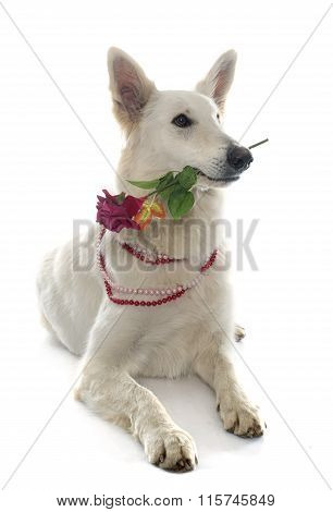 Swiss White Shepherd And Rose