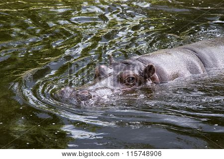 Big Hippo Swimming
