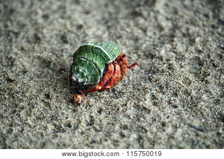Hermit crab in Borneo