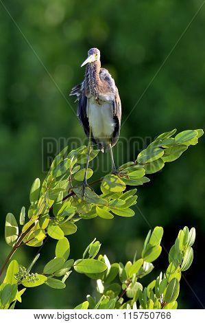 Tricolored Heron (egretta Tricolor) .