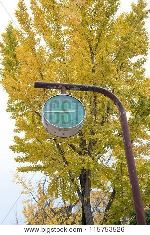 Closed Up The Green Clock With Ginkgo Trees In Park, Japan