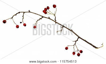 Dry Twig With Berries