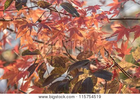 View Of Red Maple Leave In Japan