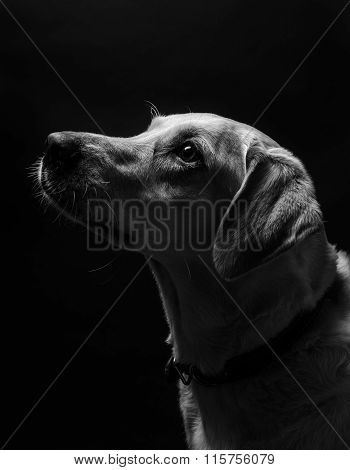 Golden retreiver portrait