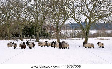 Sheep In Winter Garden