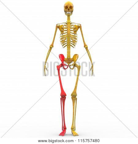 Human Skeleton Leg Joint