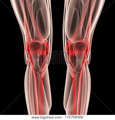 Human Knee Joints with Muscles