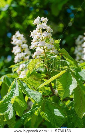 Blooming of chestnut