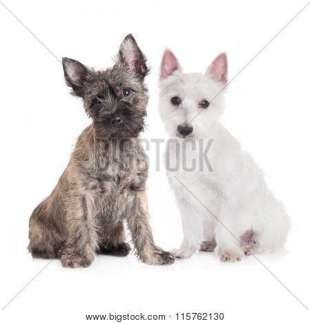 two adorable puppies on white