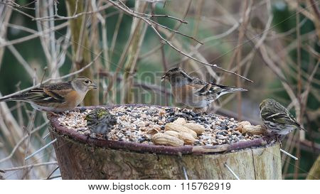 two brambling and siskin on forest background
