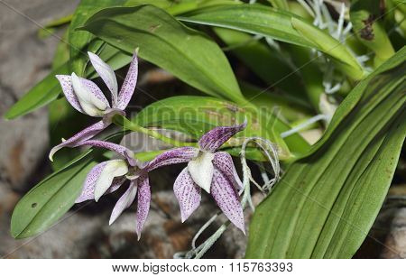 Garcia's Prostechea Orchid