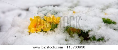 Yellow primrose flower growing from the snow.