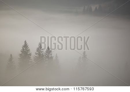 Coniferous Trees In A Thick Fog