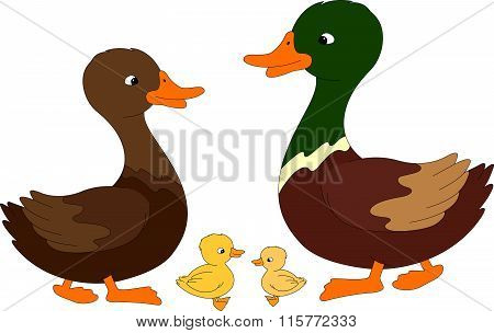 Set Of Duck, Duckling And Drake. Vector Illustration