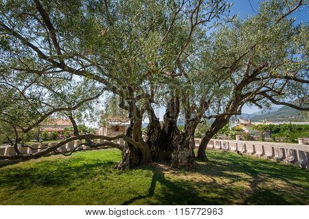 The oldest tree in Europe