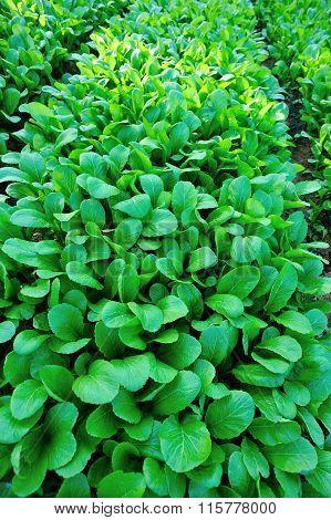 green choysum plants in growth at garden