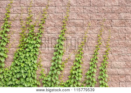 Vines Grow On The Wall