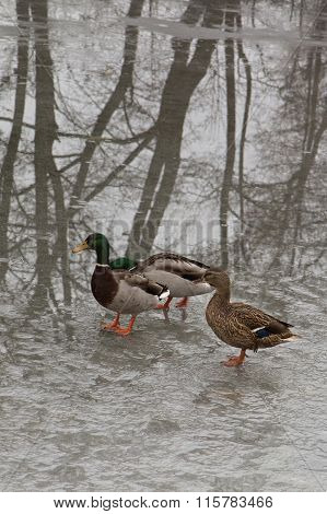 Ducks On Wet Ice