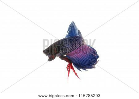 Blue Betta Fish, Siamese Fighting Fish Isolated On White Background