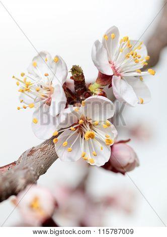 Blossom Cherry Twig