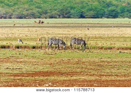 Zebras roaming the grassland of Tanzania