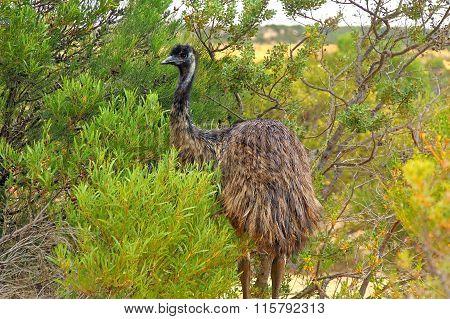 Emu in the dessert