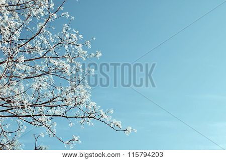 Winter Natural Toned Background - Frosty Trees Tops On The Background Of Blue Sky